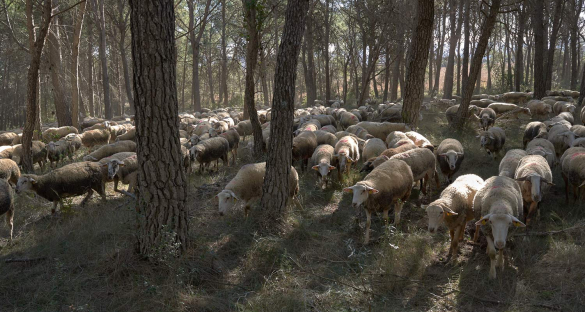 Five sheep and goat shepherds in Spain's Costa Brava region graze their four-legged brigades in strategic spots identified by the fire department to prevent the most destructive fires.