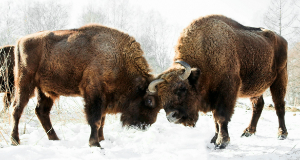 Despite the decline, some 33 endangered species have seen their numbers increase again, in part thanks to conservation and reintroduction programmes such as LIFE. The European bison had been hunted to extinction in the wild at the turn of the 20th century. Specimens bred in captivity were later released into the wild and the population has grown to 1,800 individuals. Image credit – Alexandr frolov CC 3.0 BY-SA
