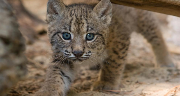 According to the IUCN Red List, 22.7% species are threatened with extinction in continental Europe. The Iberian lynx is the world's most endangered cat. Thanks to conservation efforts in Spain, individuals were reintroduced in their habitat and their numbers have been steadily increasing over the past decade. Image credit - Iberian cub lynx by lynxexsitu.es CC 3.0 BY