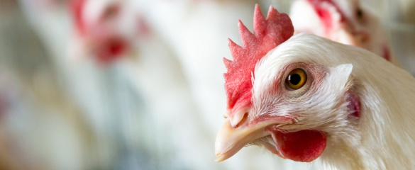 Chicken raised on a diet of insects may be in supermarkets sooner than we think. ©Shutterstock / zhangyang