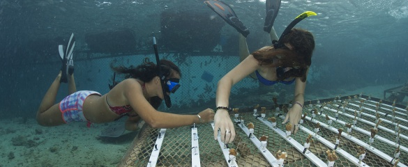 Researchers fix fragments of coral onto an underwater nursery in French Polynesia. © CNRS Photothèque  - VIGNAUD Thomas - USR3278