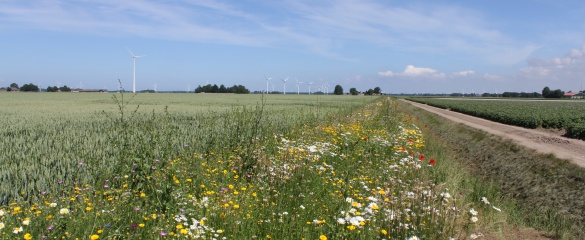 Semi-natural habitats such as a flower strip along a winter wheat field in the Netherlands can attract insects to eat pests or pollinate crops. Image courtesy of Professor David Kleijn.