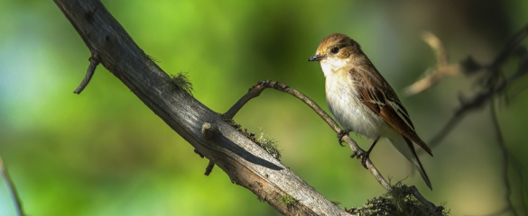 Pied flycatchers are appearing in Norway five days earlier than they used to. Image: Shutterstock/ Juha Saastamoinen