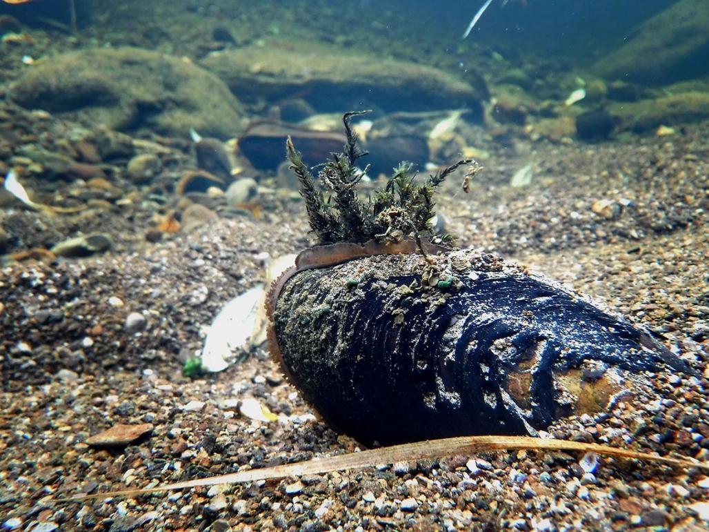 Mussel Fascinator