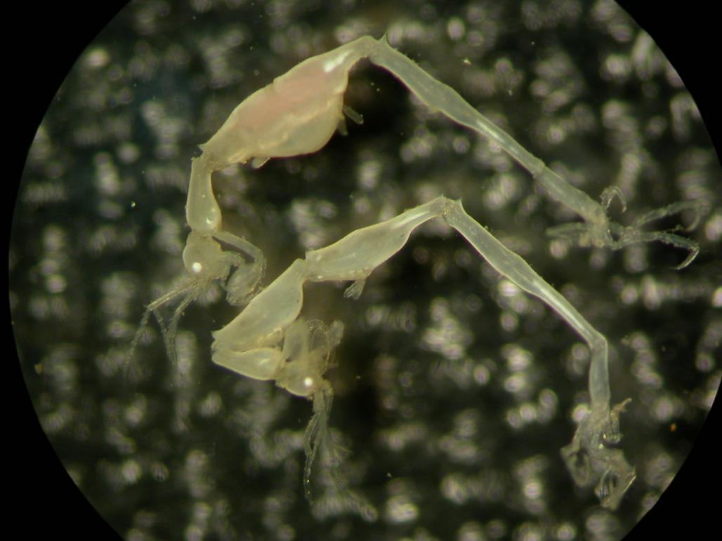 The Liropus Cachuchoensis is a small crustacean discovered by scientists at the EU-funded IEO, in the muddy depths of the Cachucho. The area is a small underwater platform off the coast of Asturias, and the first Marine Protected Area in Spain. © IEO