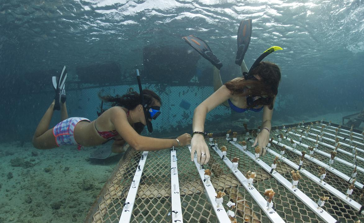 Researchers fix small fragments of coral, each about 2-4 cm long, onto an underwater rope nursery garden in French Polynesia. Traditional restoration of coral reefs has primarily involved the transportation of fragments of coral, or entire coral colonies, from nearby reefs. Compared with previous types of coral nurseries, survival rates of coral in the rope nurseries are high, detachment of the coral fragments is low, and the growth rate is fast. © CNRS Photothèque - VIGNAUD Thomas - USR3278