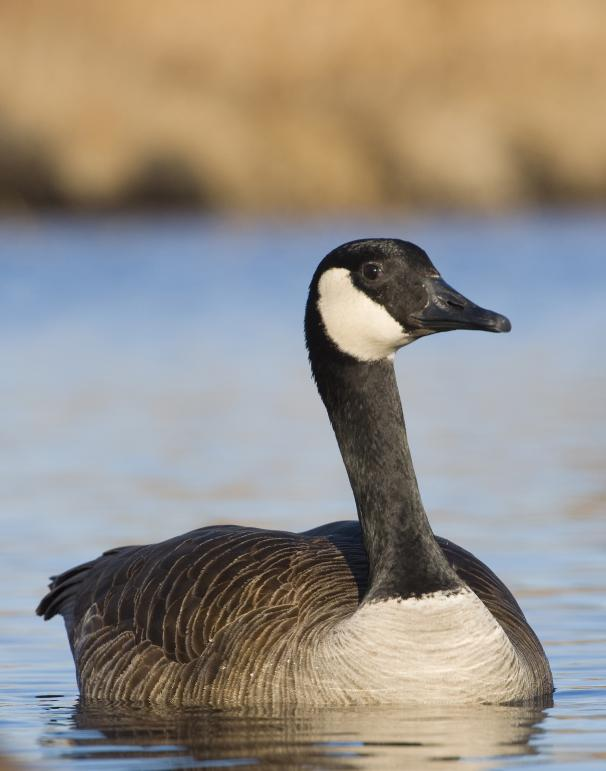 Canada goose (Branta Canadensis) © Shutterstock