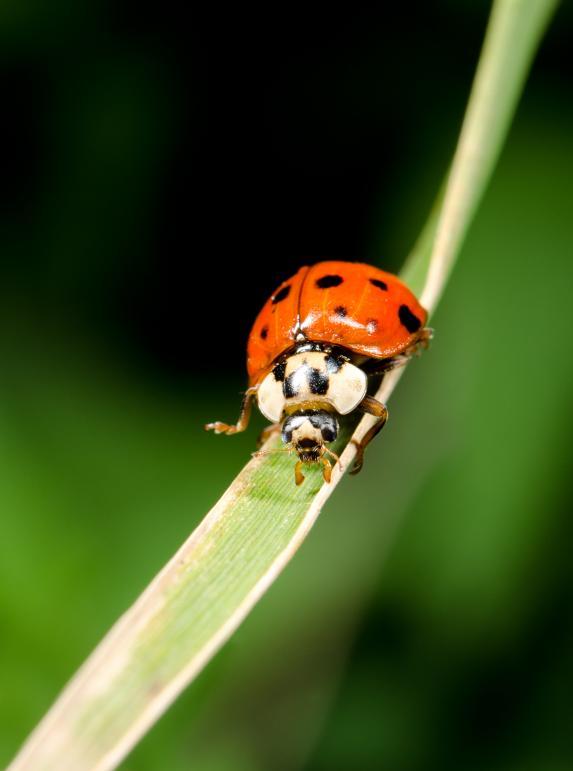 Harlequin ladybird (Harmonia axyridis) © Shutterstock